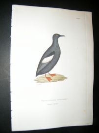 Shaw C1800's Antique Hand Col Bird Print. White Winged Guillemot